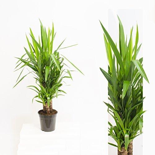 Inter Flowers -3 Köpfe: XL Yucca Palme Elephantipes 100 cm+/- hoch, Büropflanze, Zimmerpflanze