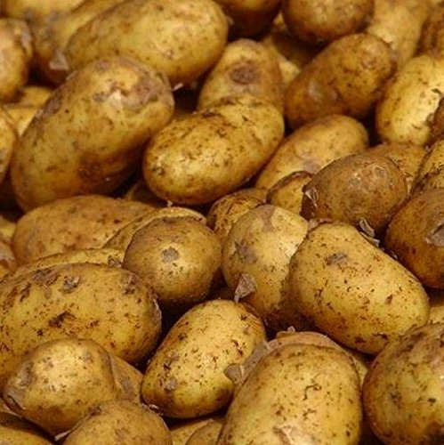 Sycamore Trading Seed Potatoes MARIS PIPER x