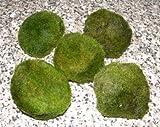 Mühlan Topartikel- 5 Mooskugeln 4-6 cm Cladophora Aegagrophila