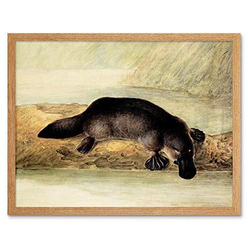 Wee Blue Coo LTD Painting Platypus River Bank Duck Billed Art Print Framed Poster Wall Decor Kunstdruck Poster Wand-Dekor-12X16 Zoll -