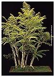 TROPICA - Bonsai -Palisanderbaum (Jacaranda...