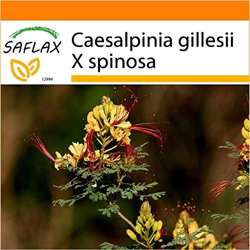 Galleria fotografica SAFLAX - Garden in the Bag - Uccello del Paradiso - 10 semi - Caesalpinia gillesii X spinosa
