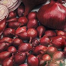Gemüse Zwiebel Simane Ca 120 Samen