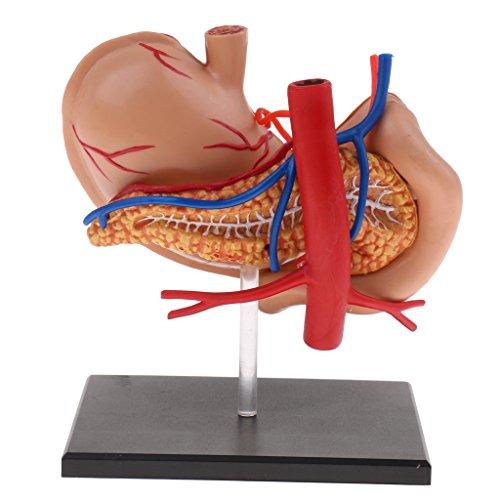 Menschliche Verdauungssystem (Sharplace 2:3 Menschlicher Verdauungssystem 4D Magen mit Pankreasgefäß und Inneren Organen Modell für Anatomie Hilfsmittel)