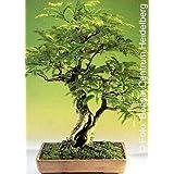 Tropica Bonsai Tamarindo (Tamarindus indica) - 4 semillas
