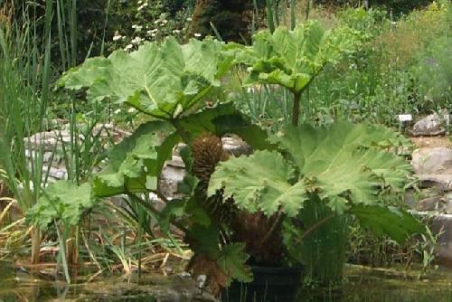 tropica-chilean-mammoth-leaf-gunnera-peltata-10-seeds-aquatic-plants