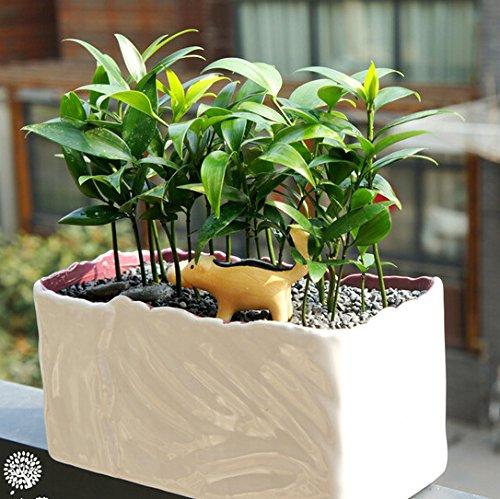 5pcs-arbol-de-hoja-perenne-nageia-semillas-planta-ornamental-verde-familia