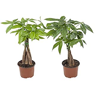 BOTANICLY | Indoor Plant | Pachira Aquatica | 35 cm | Set of 2 Plants