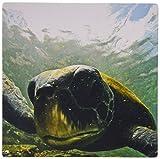 3drose LLC 20,3x 20,3x 0,6cm Pacific grün oder schwarz Meer Schildkröte Fütterung von Algen Punta Kormorane Floreana Galapagos-Mauspad (MP _ 10115_ 1)