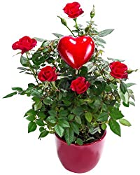 Dominik Blumen Und Pflanzen, Topfrose Mit Herzstecker Und Rotem Keramik-übertopf - Lieferung Am 14.02.2014
