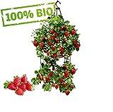 Frühtragende Hänge-Erdbeere...