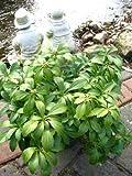 Dickmannchen - Ysander Pachysandra terminalis 5 - 7 Triebe im Topf VE 50 Pflanzen