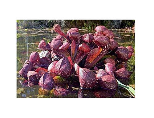 5x Sarracenia psittacina Gulf Giant Samen Fleischfressende Pflanze B219
