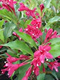 Weigela Red Prince - Weigelie Red Prince