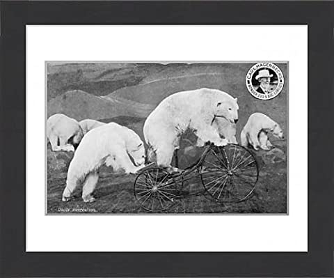 Framed Print of Performing Circus Polar Bears