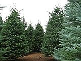 30 Samen - Edeltanne, Abies procera, (Abies nobilis), Baum Samen (Fragrant Evergreen)