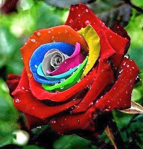 200pcs 24 Type de Rose Seeds Rare Belle semences de fleurs Balcon et cour d'ornement Bonsai Graines croissance naturelle pour la maison Jardin Bleu