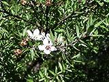 Asklepios-seeds - 5000 Semillas de Leptospermum...