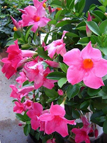 3 piante di dipladenia rosa vaso 14cm sempreverdi e rampicanti mandevilla