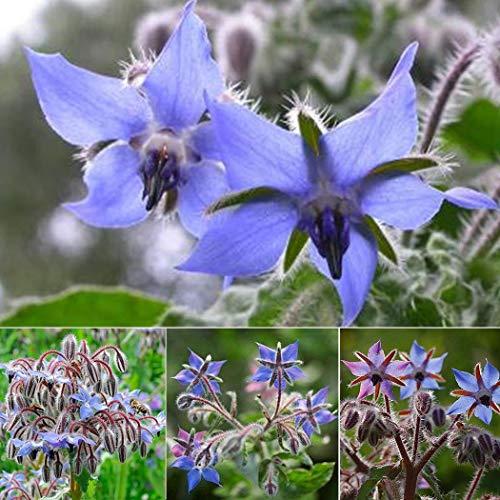 AIMADO Samen-Rarität 20 Stück Borretsch Samen mehrjährig raschwüchsiges Küchenkraut Bio Saatgut bienenfreundliche blumensamen,Ausgezeichnete Bienenpflanze für Garten