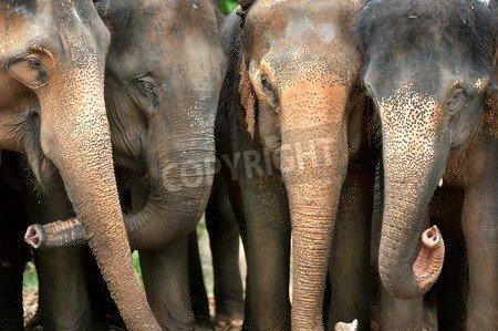 "Poster-Bild 30 x 20 cm: ""Smile of elephant in Thailand"", Bild auf Poster"