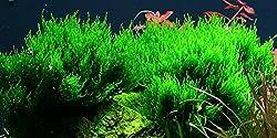 Tropica Aquarium Pflanze Moos Taxiphyllum 'Flame Nr.003HTC in Vitro 1-2 Grow Wasserpflanzen Aquarium Aquariumpflanzen