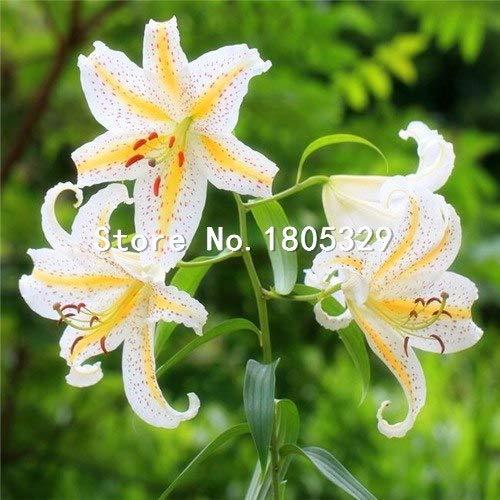 Pinkdose Perte Promotion Un paquet de 50 pièces/paquet points jaunes coeur rouge blanc Fleur de lys Graines Bonsai Balcon Cour plante Lily Fleurs: 5