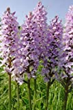 Just Seed - British Wild Flower - Common Spotted Orchid - Dactylorhiza fuchsii - 25000 Seed