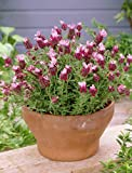 Lavender stoechas Kew Red French Lavender herb plant cerise flowers in summer good for bees 9cm pot