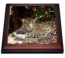 3dRose trv_85540_1 Belize, Jaguar in the Jaquar Preserve SA02 GJO0158 Greg Johnston Trivet with Ceramic Tile, 8 x 8, Brown