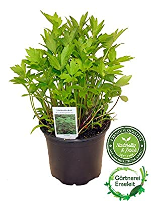 Liebstöckel,Levisticum officinale,Maggikraut,frisch für die Küche von Weseler Kräuterparadies - Du und dein Garten