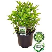 Liebstöckel Pflanze, Levisticum officinale, Maggikraut, frisch für die Küche