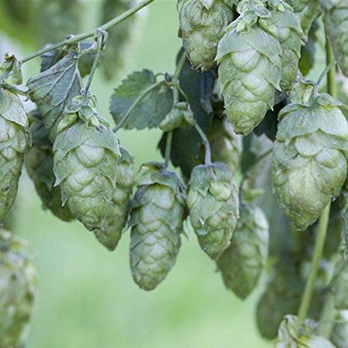 Kletterpflanze Humulus - Echter Hopfen 60-100cm im 2L Topf gewachsen