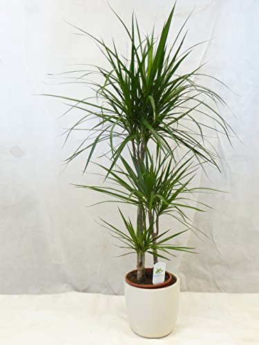 Dracaena marginata 130/140 cm / Drachenbaum 3er Tuff - Zimmerpflanze