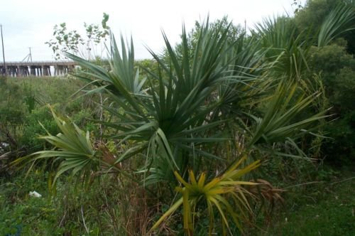 Sabal minor McCurtain COLD HARDY ZWERG PALMETTO Samen!