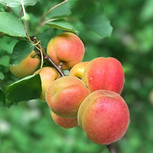Müllers Grüner Garten Shop Kioto ® Aprikose ertragreich sehr frosthart Halbstamm ca. 170-200 cm 10 L Topf St. JulienA
