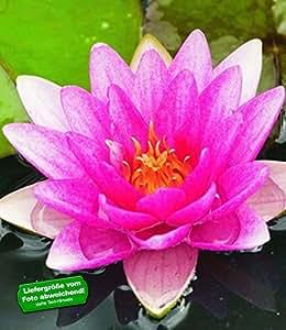 """BALDUR-Garten Seerose (Nymphaea)""""Pink"""",1 St. Wasserpflanze Teichpflanze"""