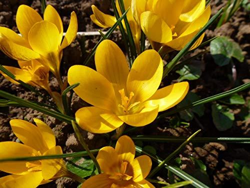 Blumenzwiebeln Krokuszwiebeln Crocus-Sortiment gelber Krokus-Teppich (150 Blumenzwiebeln)