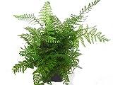 Filigranfarn - Polystichum Setiferum 'Herrenhausen'- winterharter, immergrüner, Farn 12 cm Topf als Kübelpflanze Balkonpflanze, Schattenpflanze Beetpflanze