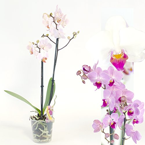 1-twin-stemmed-phalaenopsis-moth-orchid-flowering-plant-approx-12-15-inches-35-cm-beautiful-plant-in