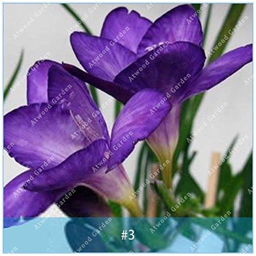 SwansGreen 3: ZLKING 2ST Freesie Birne Bonsai-Hausgarten Bonsai Stauden Blumenzwiebel Nicht Samen mit einem hohen Keimungrate Leicht wachsen schnell 3 (Hoch Drei-birne)