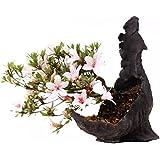 Bonsai–Jap. sats Uki azalee 'Hi de no de Maru', Rododendros Indicum 183/61
