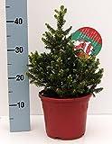 Zwerg-Rotfichte - Weihnachtsbaum im roten Dekortopf - Picea abies - Wills Zwerg - 25-30 cm