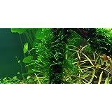 1 paquete Spiky Moss - Taxiphyllum 'Spiky' - Plantas de acuario (4x6 cm)