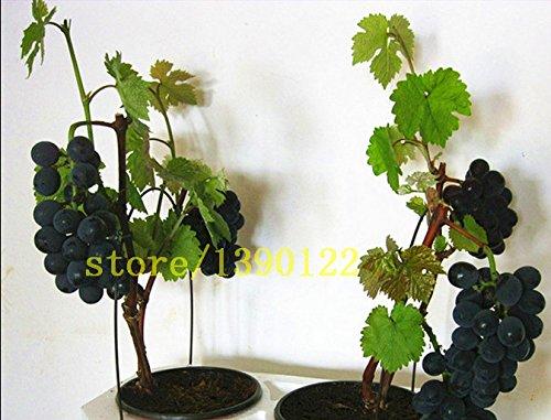 semillas-de-uva-negro-bonsai-semillas-de-uva-de-frutas-50-bolsa-enano-arbol-de-uvas-crecen-facil-fru
