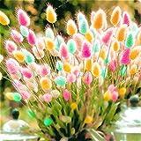 Kisshes Giardino - 100 Pezzi Semi di erba ornamentale rare Semi di coniglio code di coniglio Erba di velluto Semi di erba seme di erba Hardy per giardino Balcone Patio