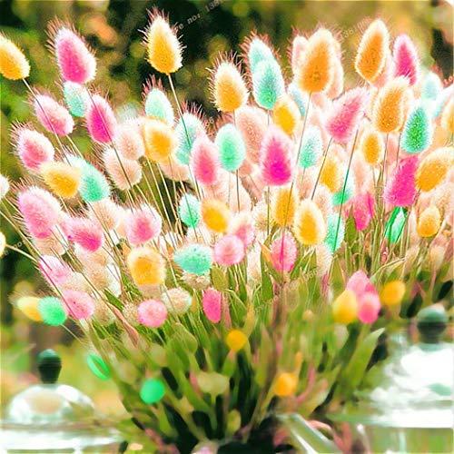 AIMADO Samen-100 Pcs Hasenschwanzgras \'Lagurus\' Ziergras Bunt Saatgut Sommerblumen,Mit wattig weichen Blütenbällchen sehr gut als Trockenblume für die Binderei eignet