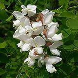 Plant World Seeds - Robinia Pseudoacacia Seeds