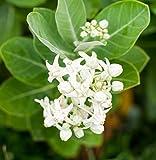 #1: Plant House Safed Aak-White Madar- 50 Seeds