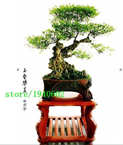semillas-de-rboles-podocarpus-yacca-de-semillas-de-rboles-de-rboles-arbustos-de-hoja-perenne-en-mace